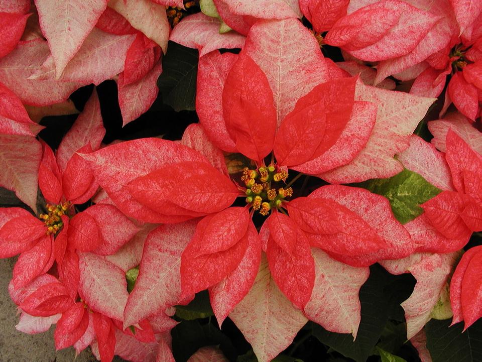 Prendre soin de votre poinsettia espace pour la vie for Achat plante