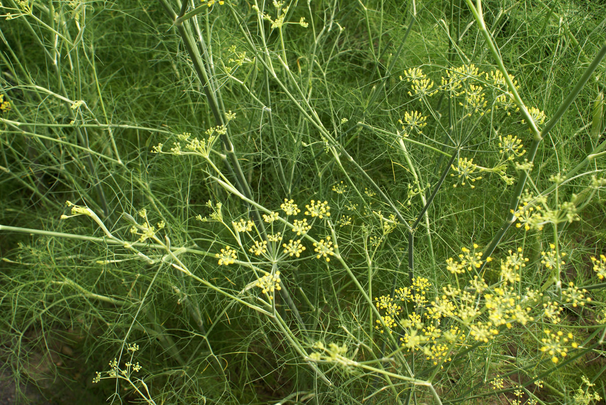 Fennel Space For Life