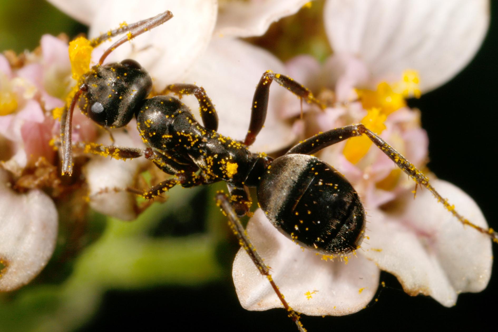 l alimentation des fourmis espace pour la vie. Black Bedroom Furniture Sets. Home Design Ideas