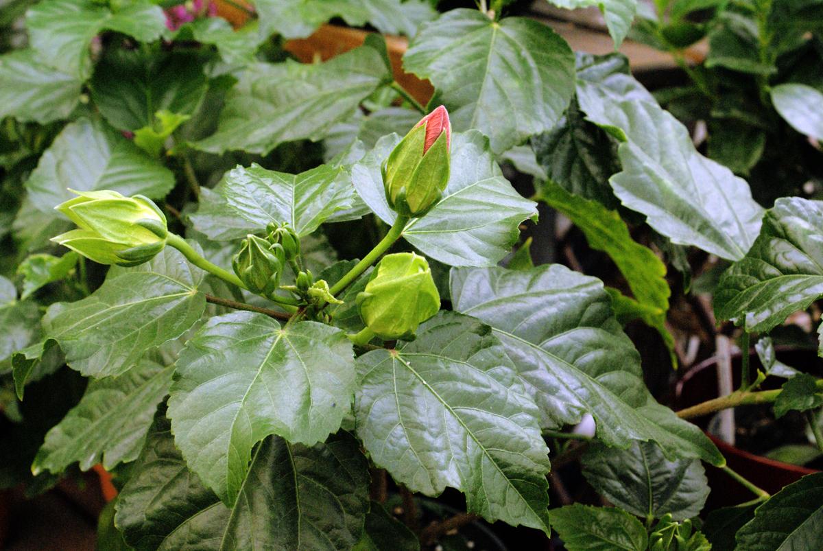 Hibiscus space for life for Biodome insectarium jardin botanique