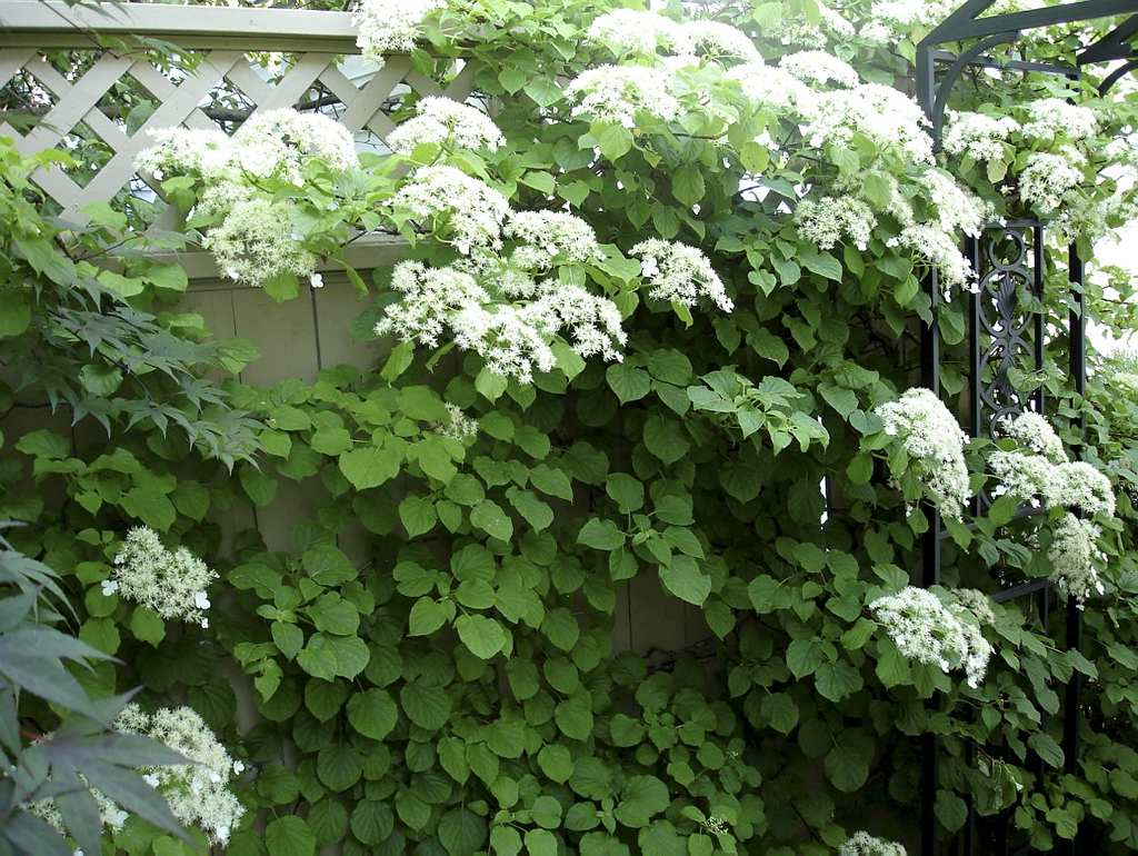 climbing hydrangea space for life. Black Bedroom Furniture Sets. Home Design Ideas
