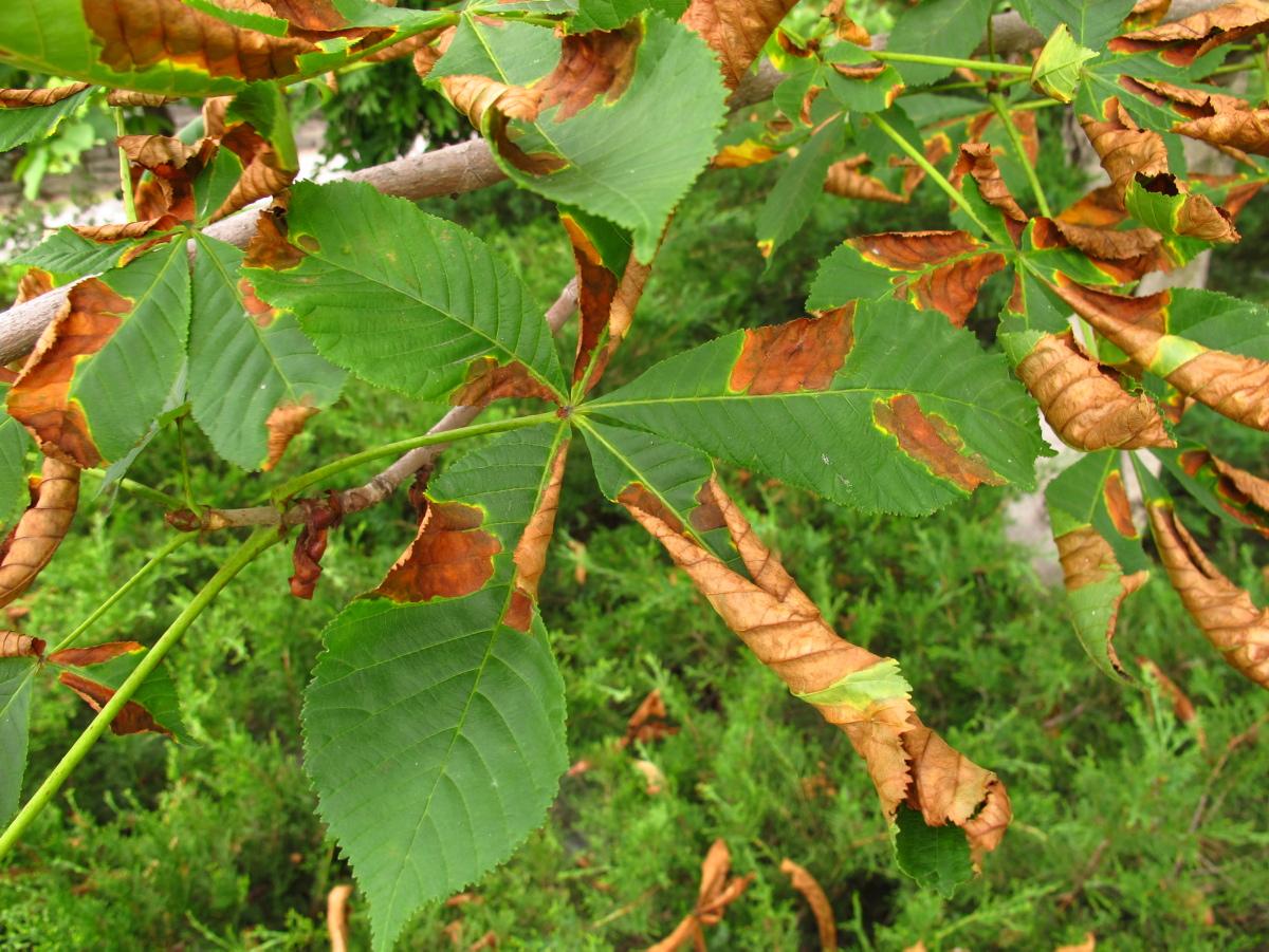 Faire Germer Un Marron D Inde brûlure des feuilles du marronnier | espace pour la vie