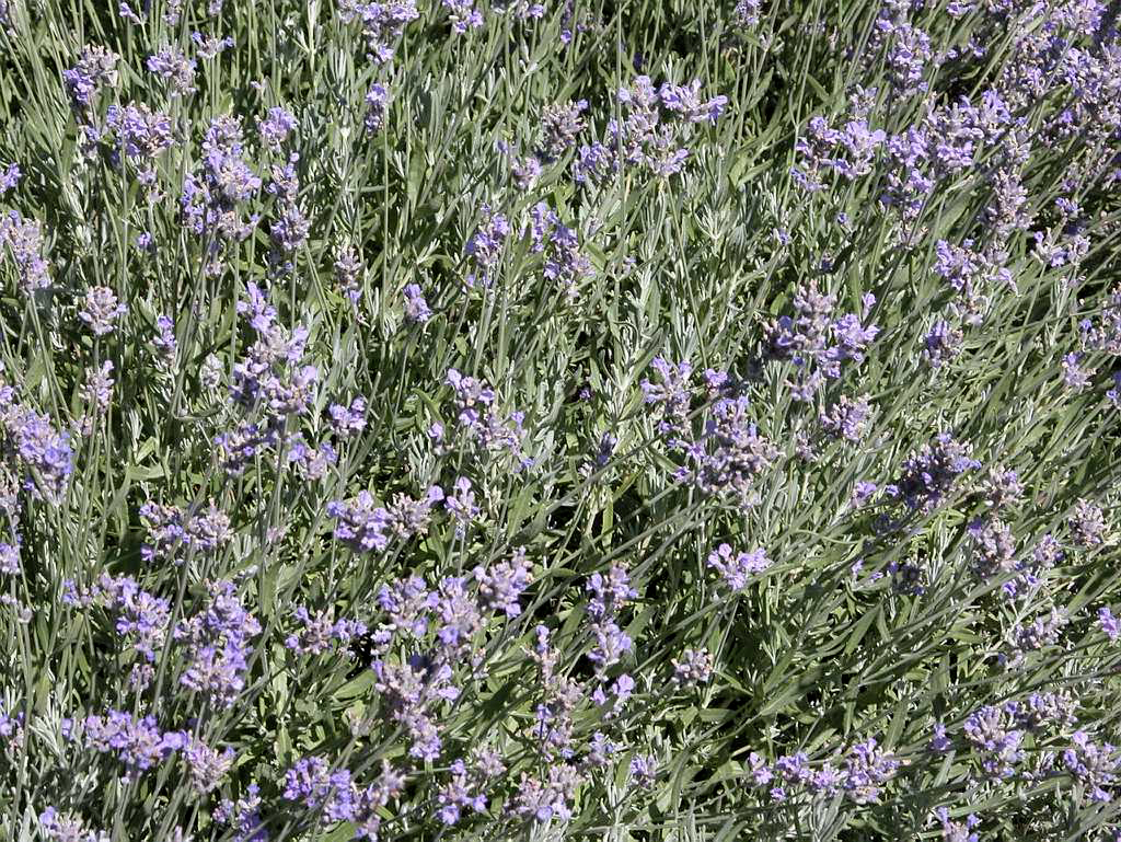 English lavender space for life for Biodome insectarium jardin botanique