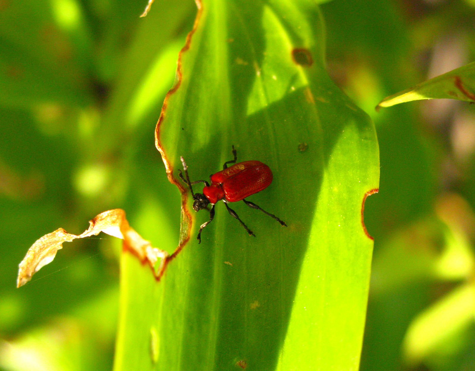 Lily Leaf Beetle Space For Life