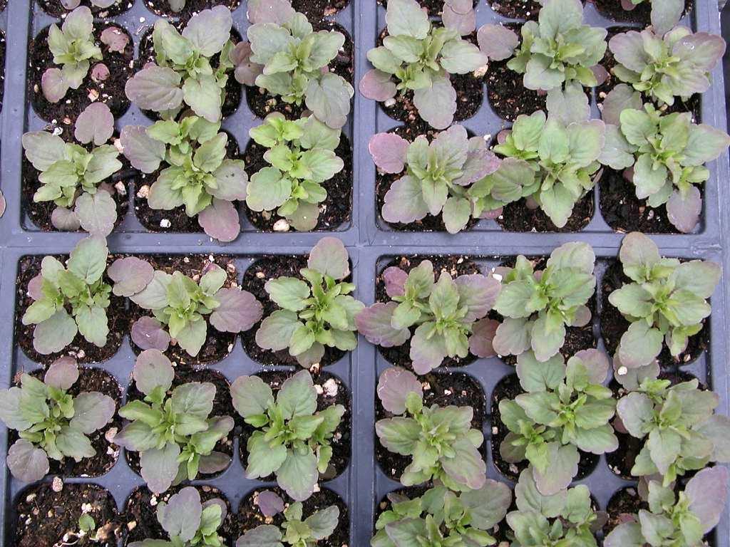 Plante Panier Suspendu : Semis des annuelles espace pour la vie