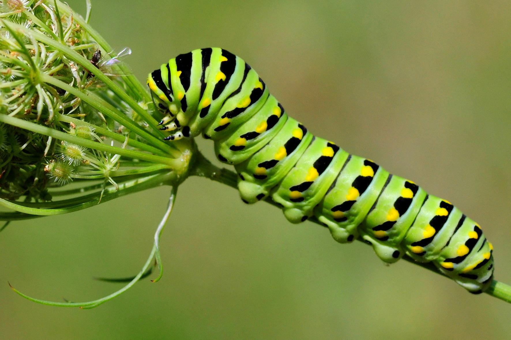 Plantes h tes espace pour la vie - Chenille verte et noire ...