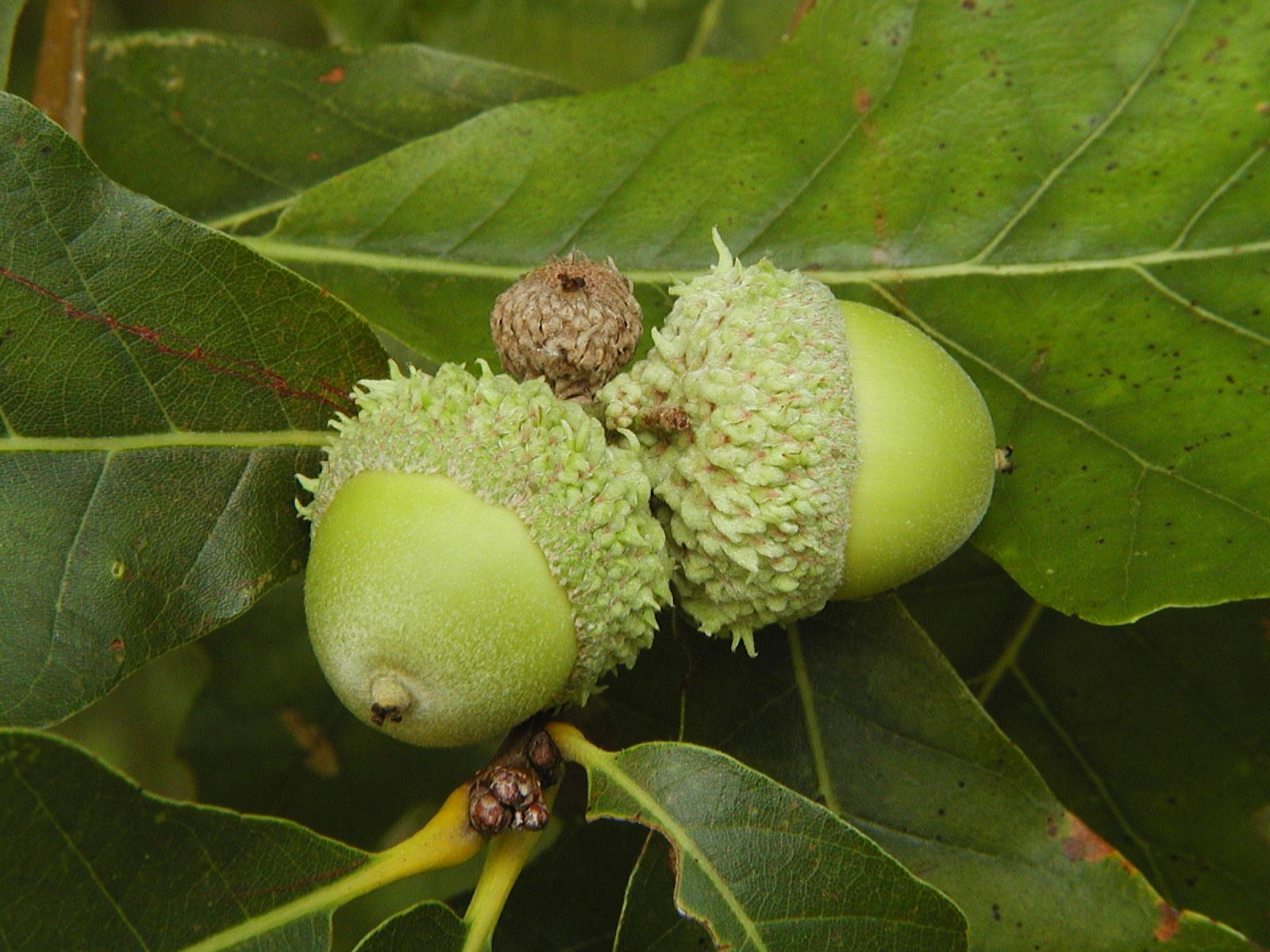 Quercus bicolor acorn