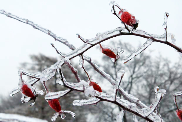 Questions populaires de l 39 hiver espace pour la vie - Couvrir arbuste pour l hiver ...