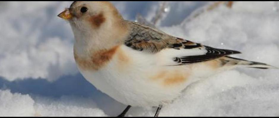 Carrousel Snow Bunting
