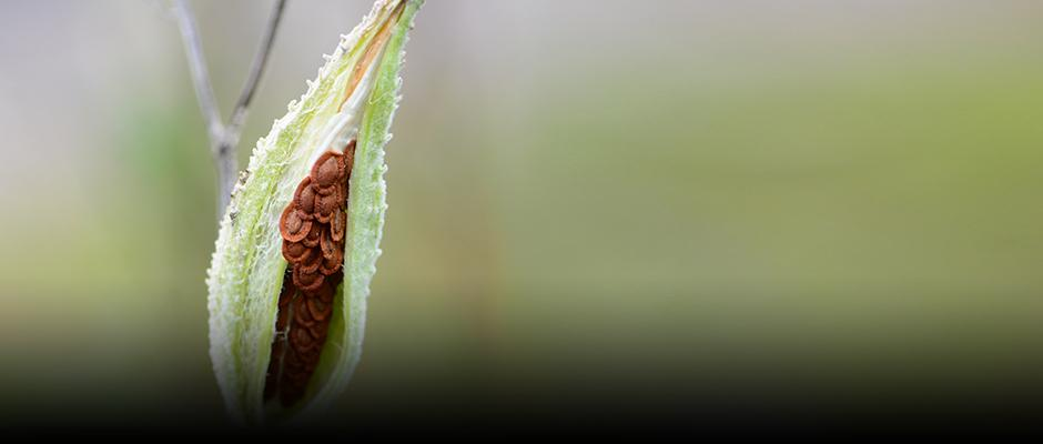 Time to get at your milkweed seeds!