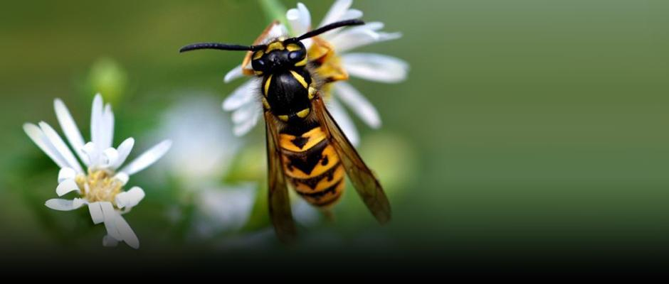 What's the deal with social wasps and hornets in Québec?