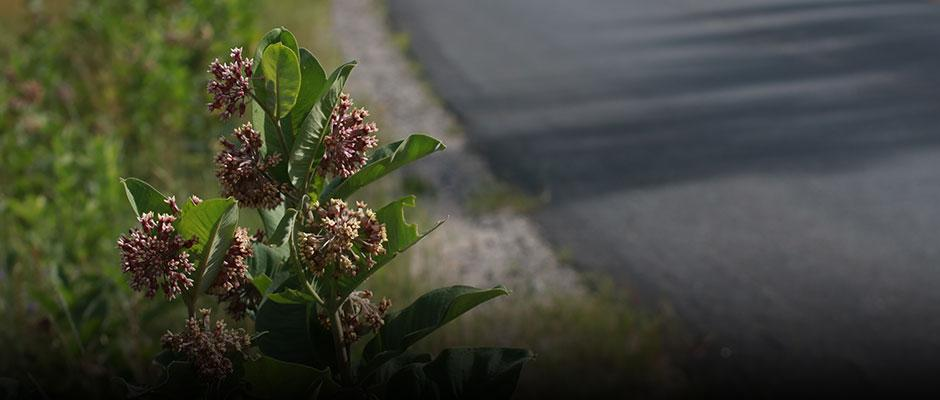 Milkweed plants alongside a road