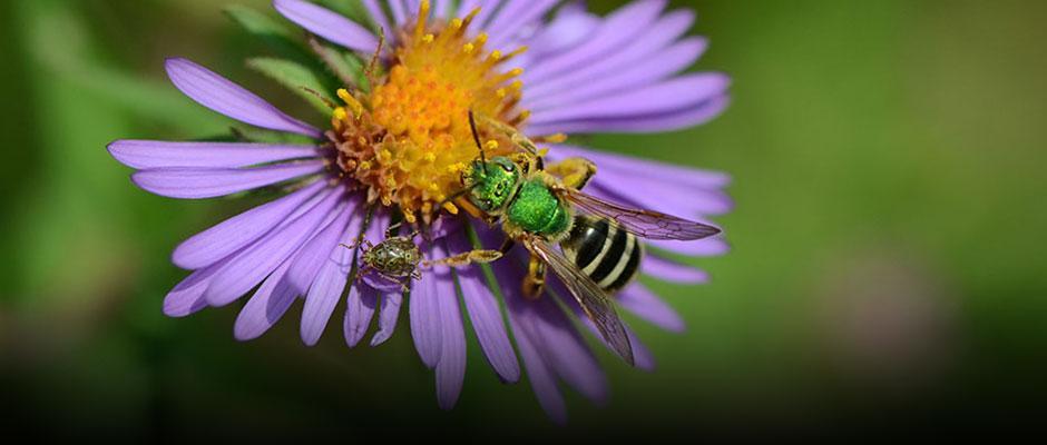 Montréal, officiellement ville amie des abeilles!