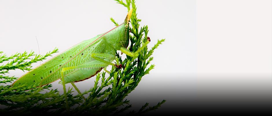 A rhino katydid at the Insectarium?