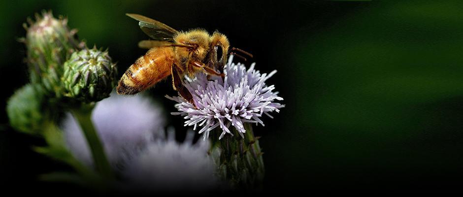 La sauvegarde des pollinisateurs : un enjeu nord-américain