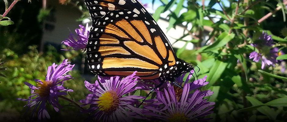 Monarch on milkweed flower