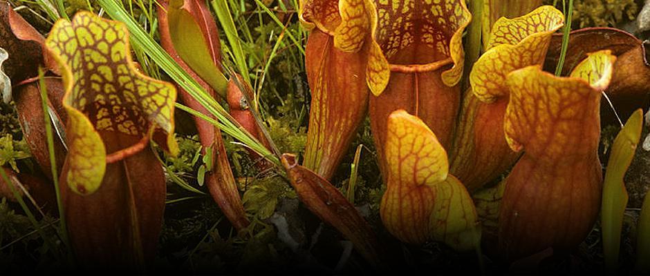 De nouvelles plantes insectivores au Jardin botanique! - Carrousel