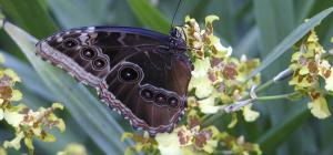 Morpho peleides, on an orchid
