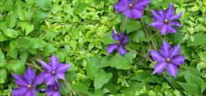 Clematis 'Lilacina Floribunda'