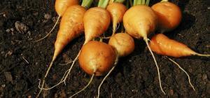 Daucus carota 'Oxheart'