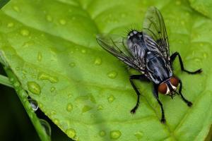 Diptera.
