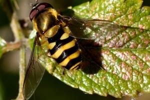 Syrphidae (famille).