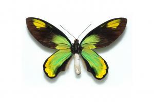 Ornithoptera victoriae.