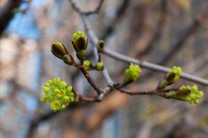 Bourgeons au printemps