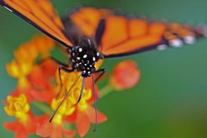 Papillons en liberté 2013 (Danaus plexippus)