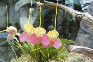 Masdevallia caudata 'Janet' AM/AOS orchid in a terrarium