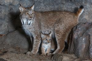 Female lynx with her young.