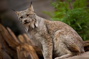 Lynx du Canada (Lynx canadensis).