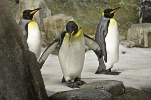 King Penguins (Aptenodytes patagonica) in the Sub-Antarctic Islands at the Biodôme