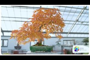 What's the longest bonsai trees can live?
