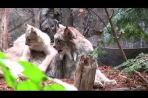 Trois chatons lynx au Biodôme / Three lynx kittens at the Biodôme