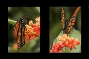 Papillons en liberté 2013 - Butterflies Go Free 2013