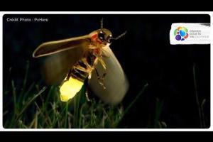 What makes fireflies light up?