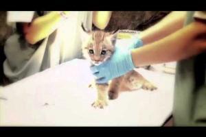 Premier vaccin du chaton lynx - First vaccination of the lynx cub