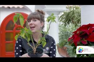 How to make a poinsettia turn red again?