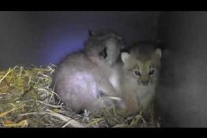 Chatons lynx du Biodôme (1 mois) / Biodôme's lynx kittens (1 month old)