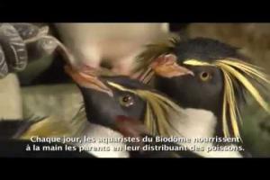 Des amours de manchots (Biodôme de Montréal)