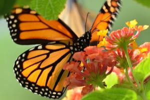 Monarch oasis