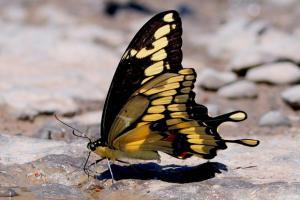 Grand porte-queue 'Papilio cresphontes'