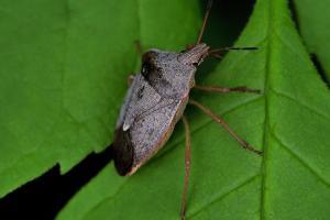 Pentatomidae (famille).