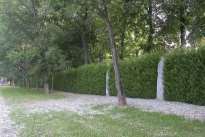 Salix viminalis.