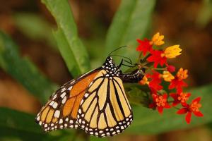 Monarque femelle qui pond