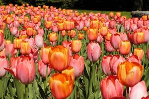 Massed tulips (Tulipa cv.)