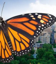 Pledge to help save monarch butterflies – City of Montréal