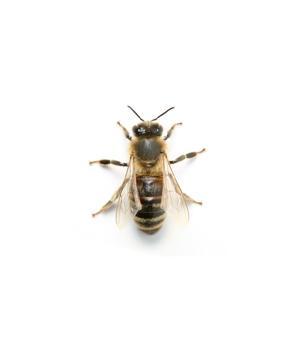Bees, Wasps and Bumblebees