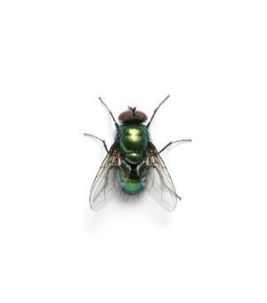 Les mouches et les moustiques